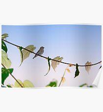 Dark-sided Flycatcher Bird Poster