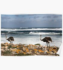 Ostrich, South Africa Poster