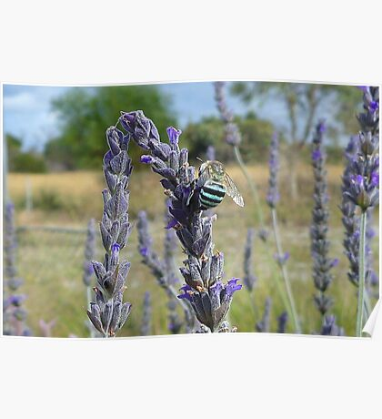 Blue Banded Bee Poster