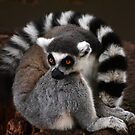 Ring-Tailed Lemur by Paula McManus