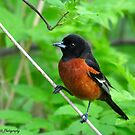 Orchard Oriole  by Nancy Barrett