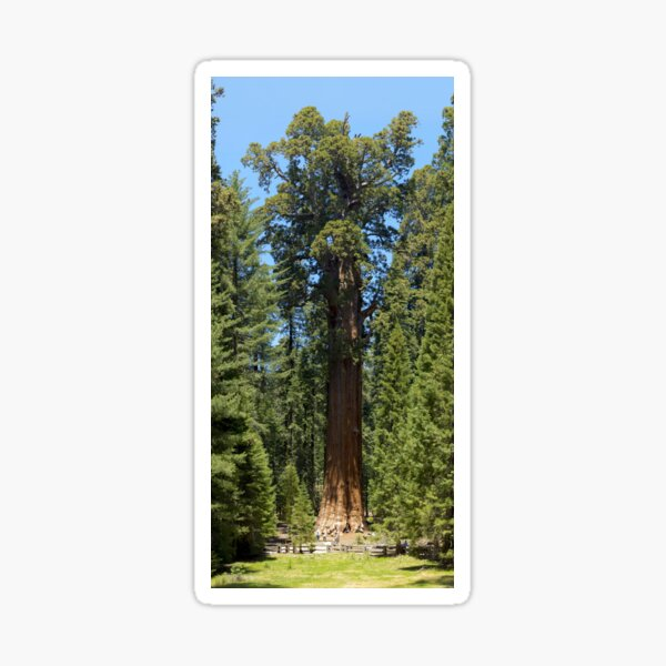 The Largest Tree in the World - GigaPan Sticker