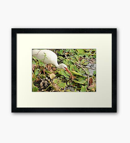 White Ibis with Banned Water Snake Framed Print