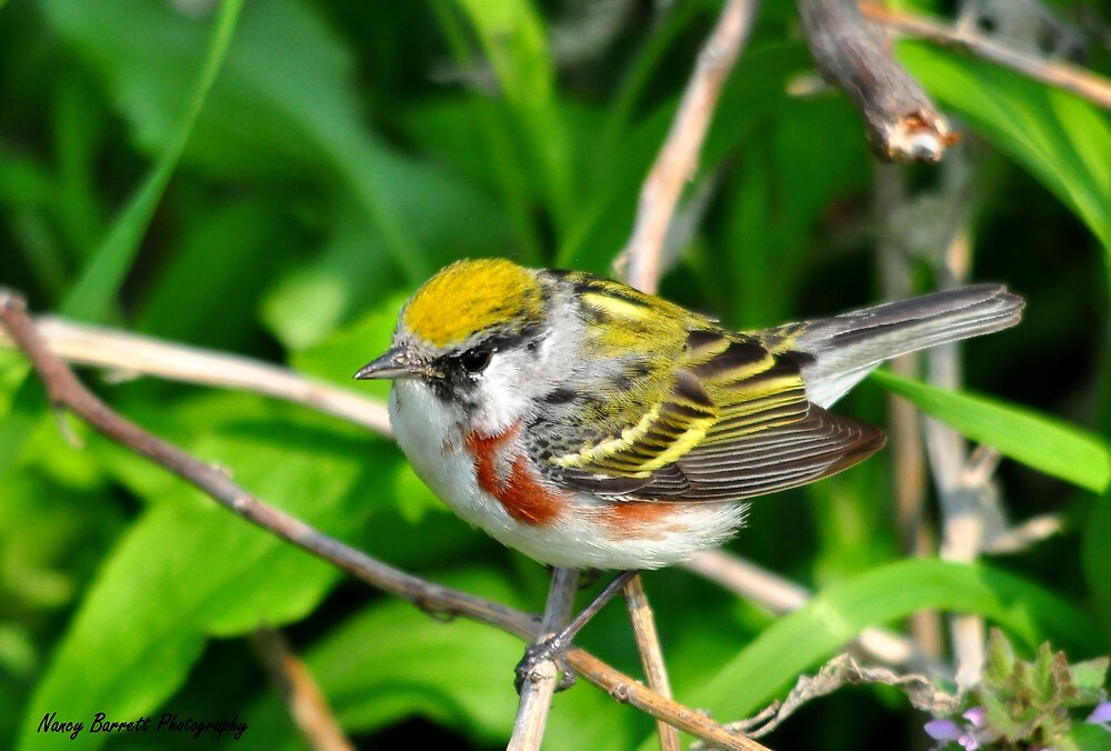 Chestnut-sided Warbler by Nancy Barrett