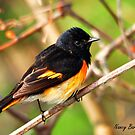 American Redstart by Nancy Barrett