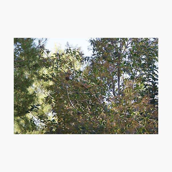 Hiding in the Trees; Squirrel La Mirada, CA USA Photographic Print