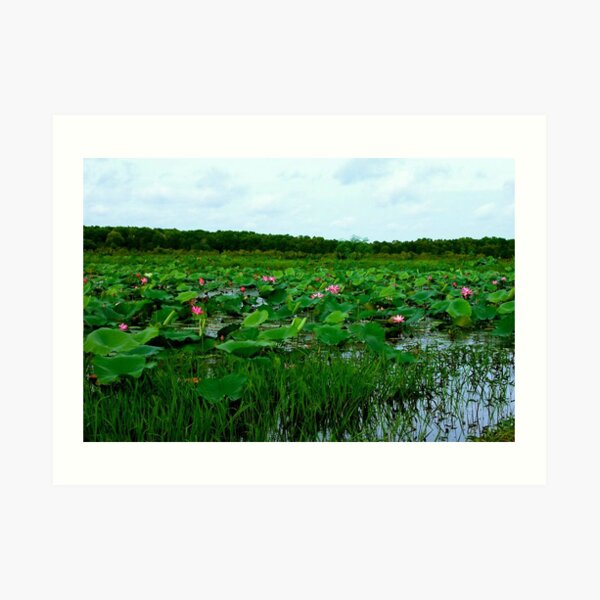 Lotus Flowers at Fogg Dam Art Print