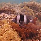 Magpie Perch (Cheilodactylus nigripes) - Hallett Cove, South Australia by Dan & Emma Monceaux