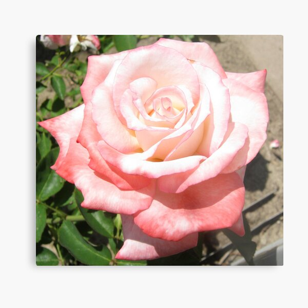 'Secret' Rose Metal Print