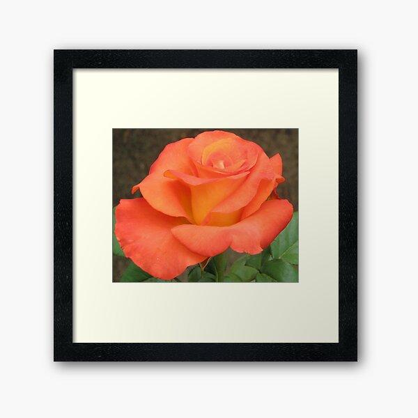 Orange And Yellow Rose Framed Art Print