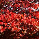 Leaves of red by Paul Gibbons