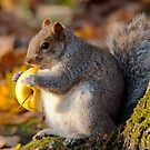 Chubby Grey Squirrel by M S Photography/Art
