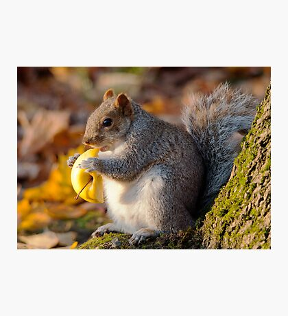 Chubby Grey Squirrel Photographic Print