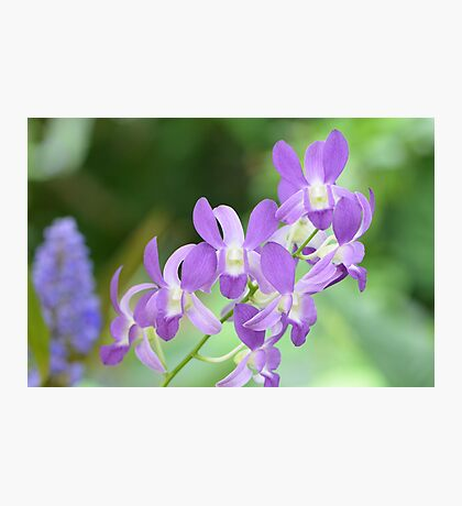 Light Purple Orchids Photographic Print