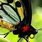 Cairns Birdwing Detail by Didi Bingham