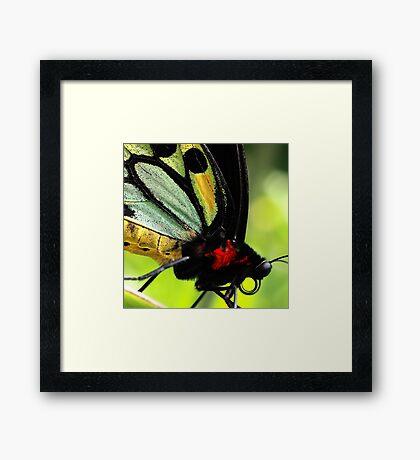 Cairns Birdwing Detail Framed Print