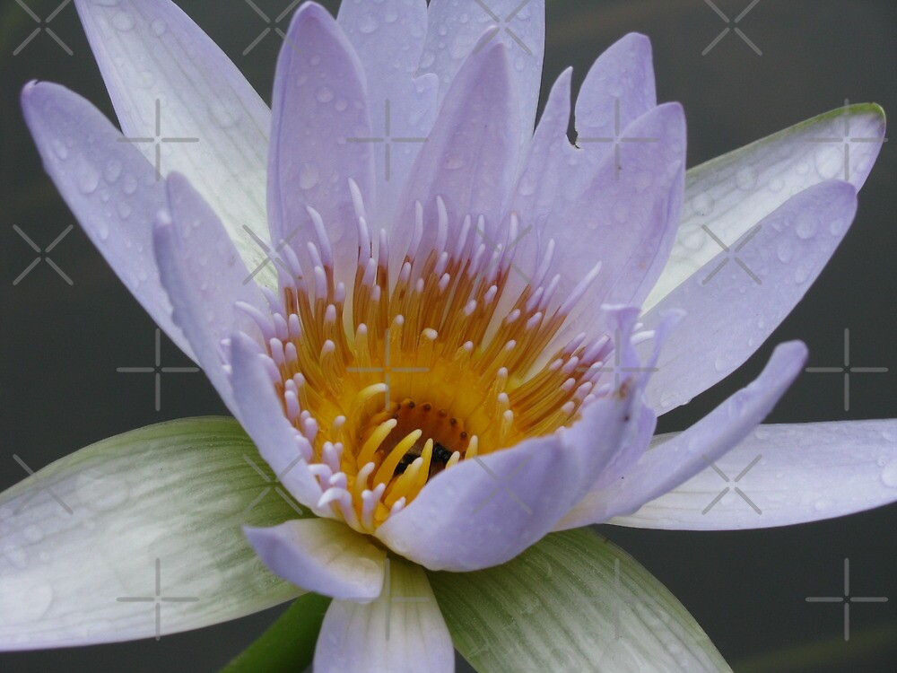 water lily by ljdewet
