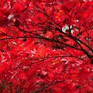 Japanese Maple by Robin Nellist