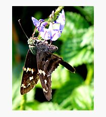 Longtailed Skipper Photographic Print