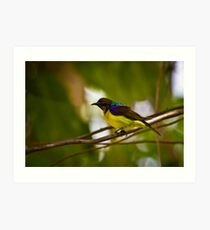 Brown-throated Sunbird (Anthreptes malacensis) Art Print