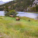 Elk - Jasper, Alberta by mattnnat