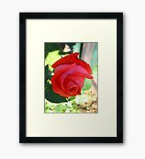 November Rose 3 Framed Print