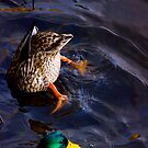 Ducks :) by ulryka