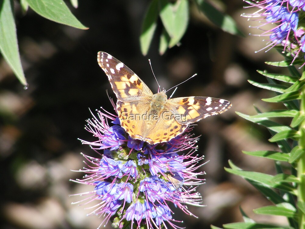 Painted Lady by Sandra Gray