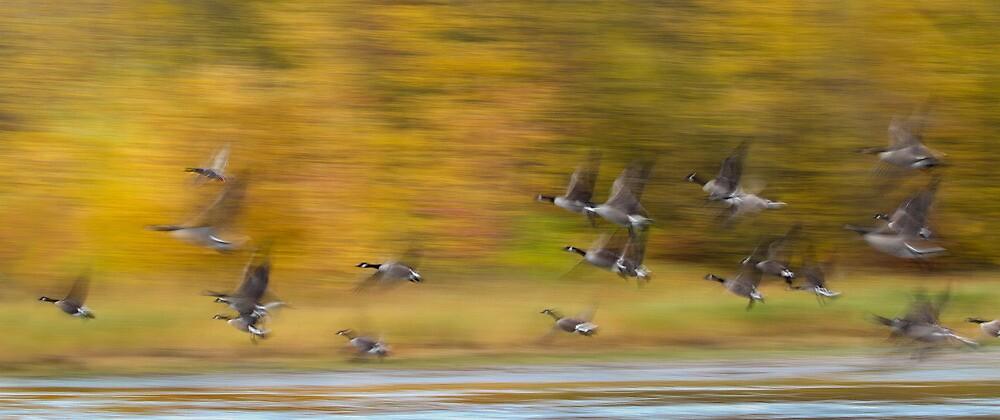 Canada Geese and a Mallard pan blur. by Daniel Cadieux