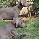 Weimaraner I-Phone Cover by DebbieCHayes