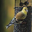 American Goldfinch by Marija