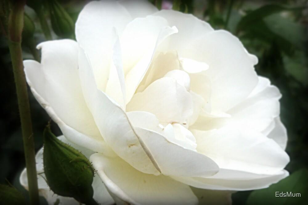 *Iceberg Rose - Garden 2015* by EdsMum