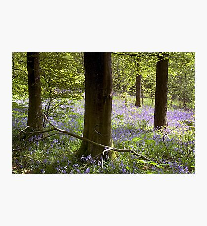 Bluebells in Clapdale Wood - The Yorkshire Dales Photographic Print