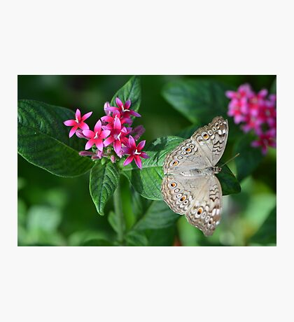 Beige Butterfly on Resting on Pentas Photographic Print