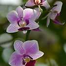 Purple and White Orchid Spray by Paula Betz
