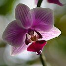 One Beautiful Orchid by Paula Betz