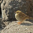Meadow Pipit by Robert Abraham