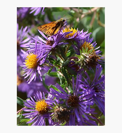 Moth Drinking Nectar from Purple Flower Photographic Print