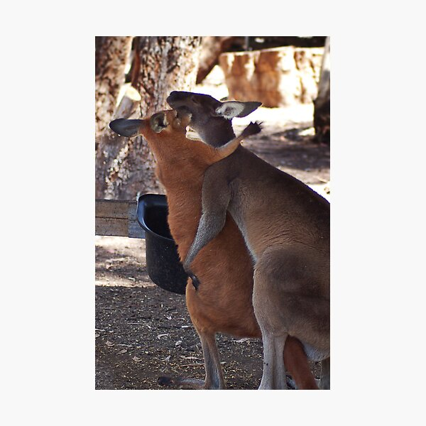 Love, Kangaroo Style Photographic Print