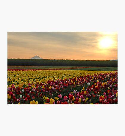 Tulips At Sunrise Photographic Print