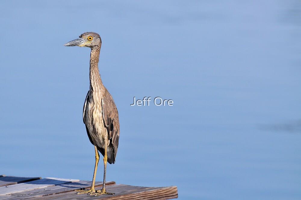 Juvenile Yellow Crowned Night Heron by Jeff Ore