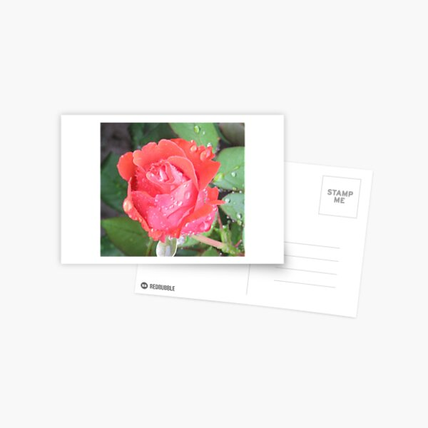 Coral Rose Getting Wet Postcard