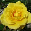Golden Rose von BlueMoonRose