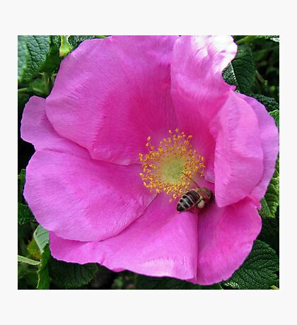 An English Rose and an Italian Bee  Photographic Print