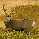 Mule Deer Buck wildlife photo by Donna Ridgway by Donna Ridgway