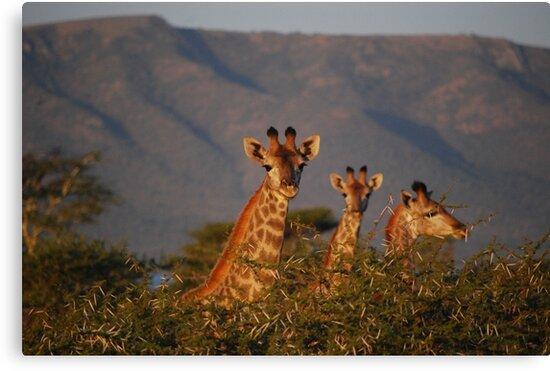 Giraffe in the wild by PeneJane
