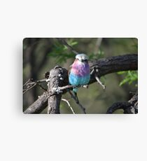 Lilac Roller - South Africa Canvas Print