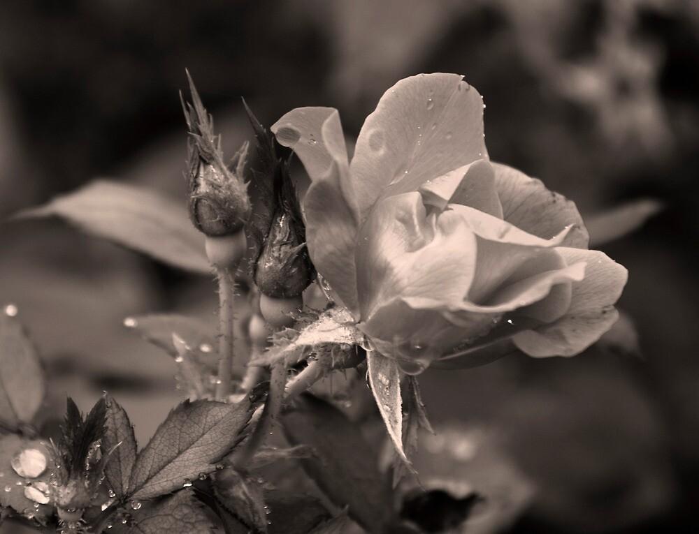 Rose of Hard Knocks by Jay Reed