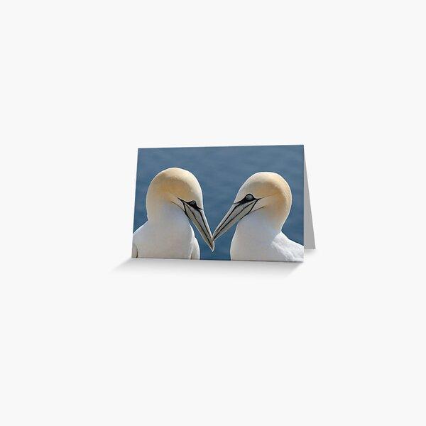 Bass Rock Gannets Greeting Card
