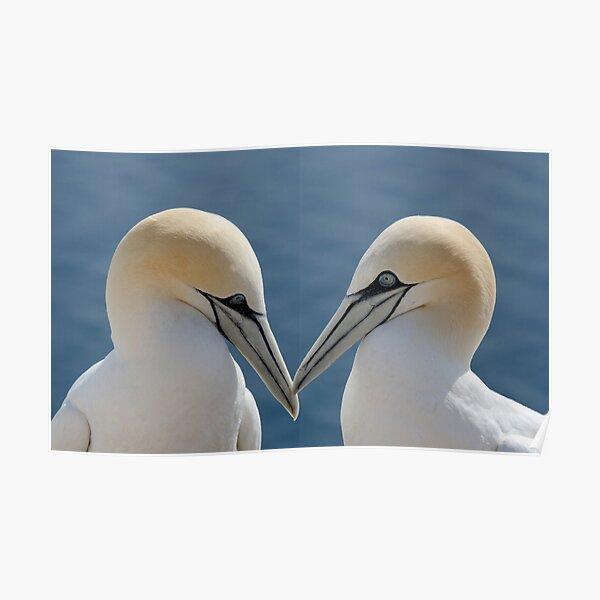 Bass Rock Gannets Poster